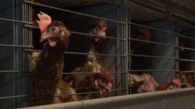 Vesti - U Švedskoj ubijaju 200.000 kokošaka zbog ptičijeg gripa!
