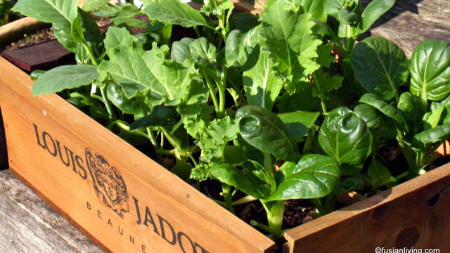 Baby leaf – Urbana vitaminska salata