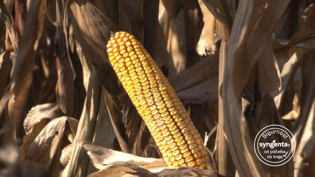 Zoan – hibrid kukuruza koji raste do neba