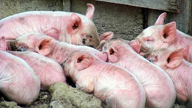 Srbija jedina zemlja u regionu koja ne izvozi svinjsko meso