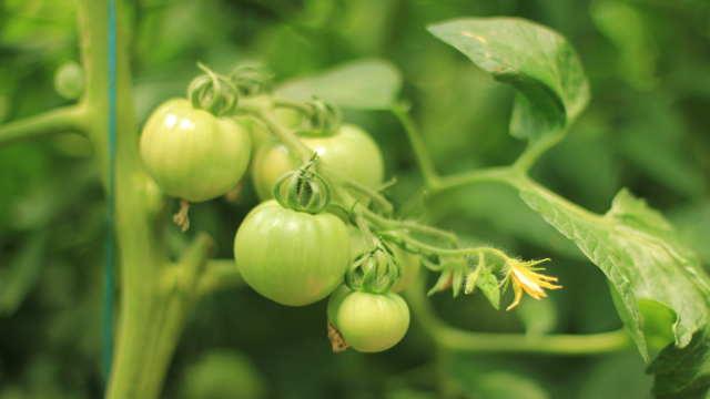 Fantom F1 – hibrid paradajza za profesionalne povrtare