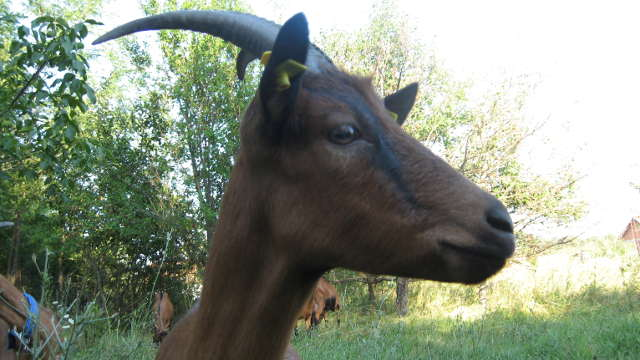 Nova fabrika u Rekovcu - šansa za ovčarstvo i kozarstvo