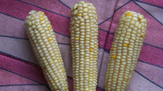 Gajenje kukuruza u bašti