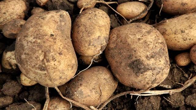 Krompir iz Srbije ponovo se izvozi u Evropu!