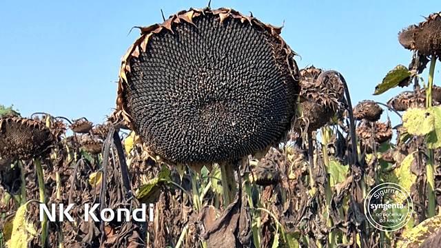 Hibrid Kondi za pune glave suncokreta