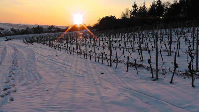 Trstenički vinogradi u susret Svetom Trifunu
