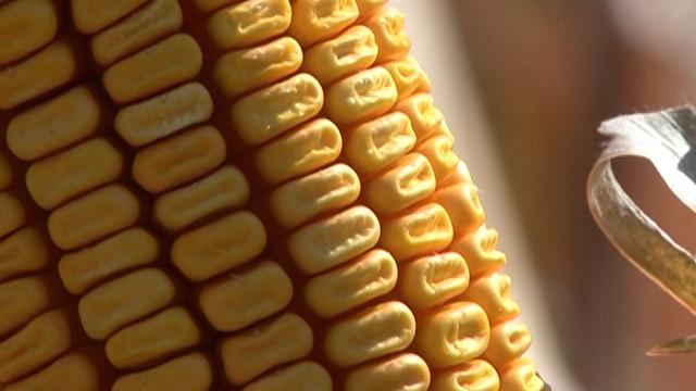 Agrimax hibridi kukuruza - Kalina