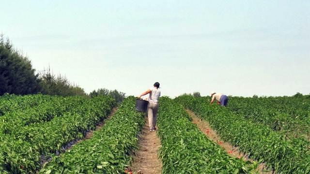 Mladi se vraćaju u selo, proizvodnja jagodičastog voća raste