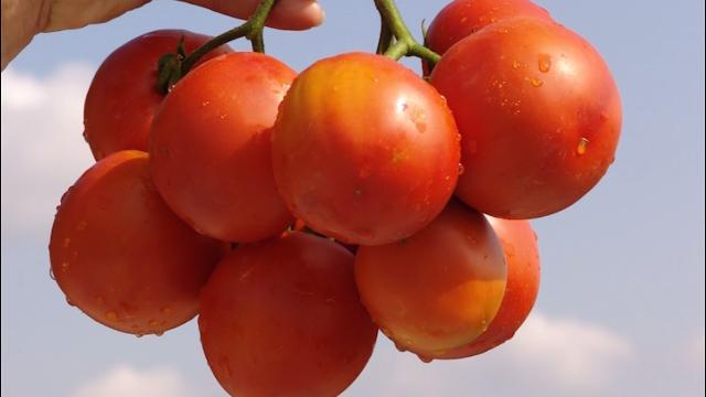 Hibridi paradajza koji odgovaraju svim vašim željama i potrebama