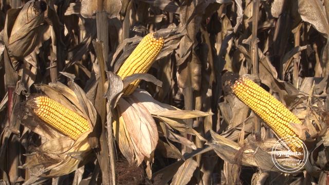 Kreon – za prve dobre pare od kukuruza