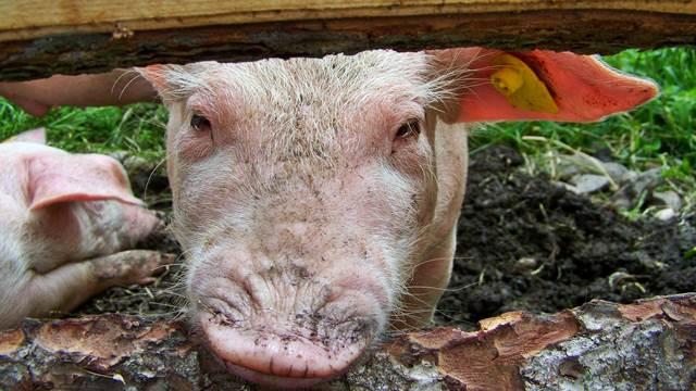 """Da li su svinjari iz Sremske Mitrovice spremni za saradnju sa kompanijom """"Mitros""""?"""