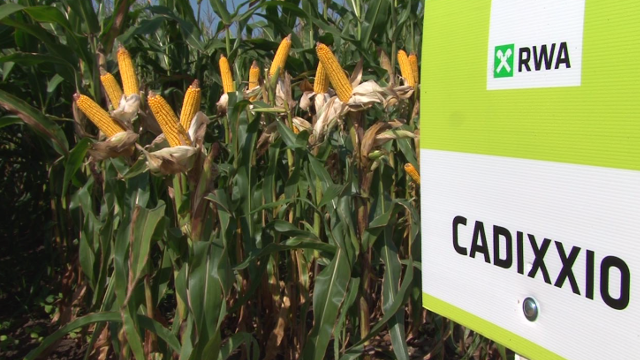 Ovo su iskustva ratara sa RWA hibridima kukuruza