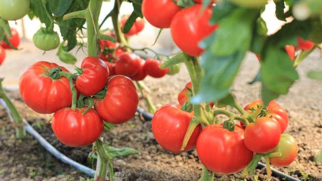 Roker – najbolja sorta paradajza za industrijsku preradu