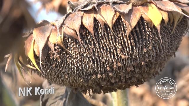 Kondi – hibrid suncokreta za još bolji prinos