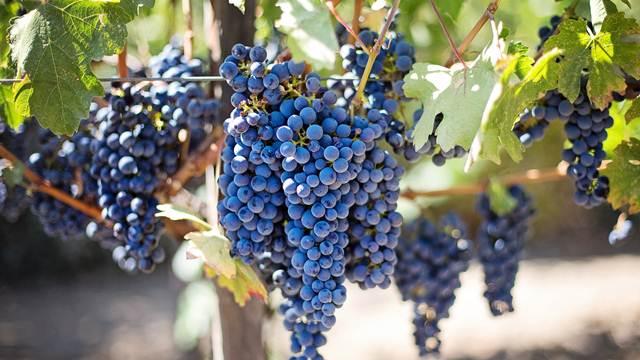 Malinarski kraj poznat i po dobrom vinu
