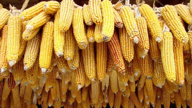 """Kako se Institut za kukuruz """"Zemun Polje"""" pripremio za predstojeću setvu"""