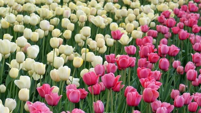 Najveći uvoznik cveća u EU je Nemačka