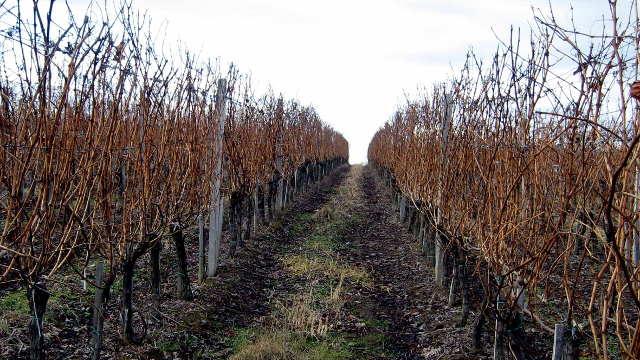 Koliko je novca potrebno za hektar vinograda?