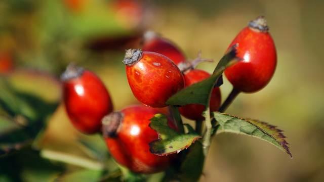 Gajenje šipurka isplativije od lešnika i paprike