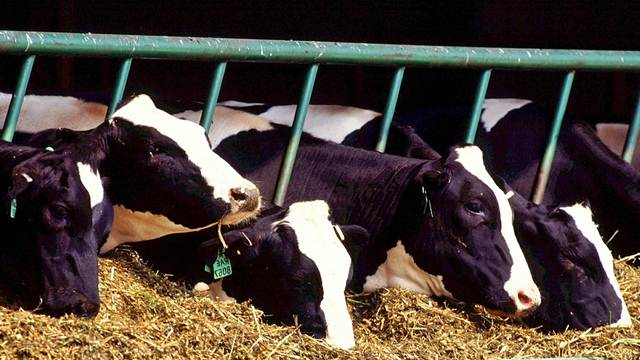 Zasušenje muznih krava