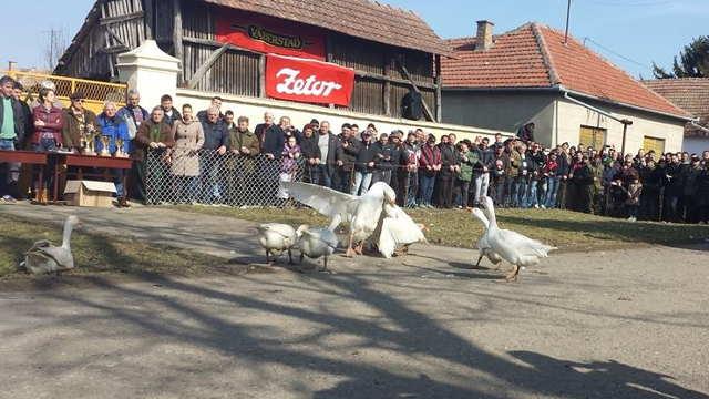 Belo perje letelo na sve strane u Mokrinu – Održano 31. nadmetanje gusana