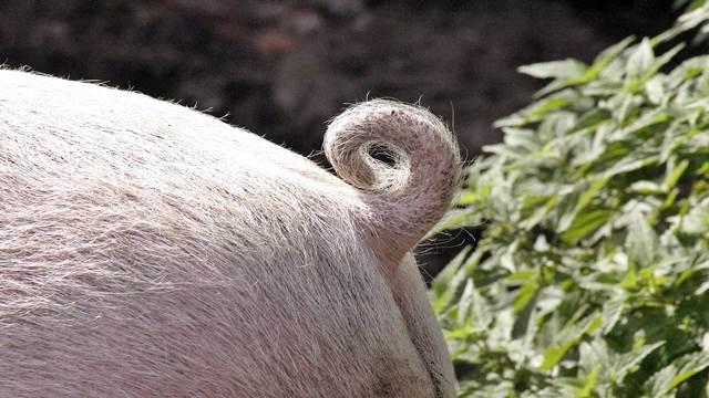 Evo kako da sprečite problem griženja repova kod svinja