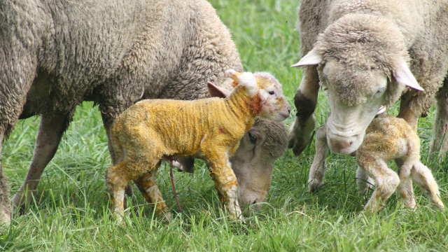 Nega ovaca nakon jagnjenja
