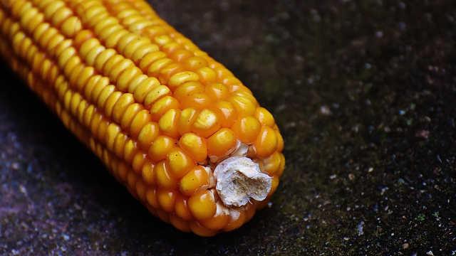 Izaberite odgovarajući hibrid kukuruza za prolećnu setvu