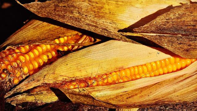 """""""Syngenta"""" hibridi kukuruza – sve što dobar ratar može da poželi na njivi"""