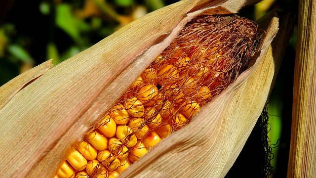 RWA hibridi kukuruza – vaši globalni partneri u proizvodnji