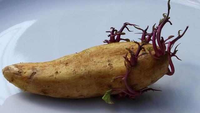 Evo kako da sprečite klijanje krompira