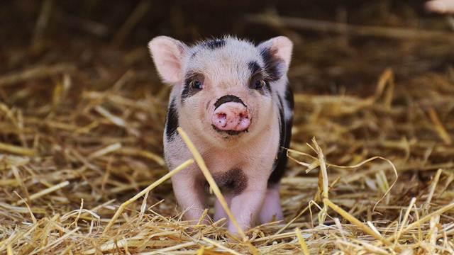 Krmače vole da pevaju prasićima – Evo šta još niste znali o svinjama
