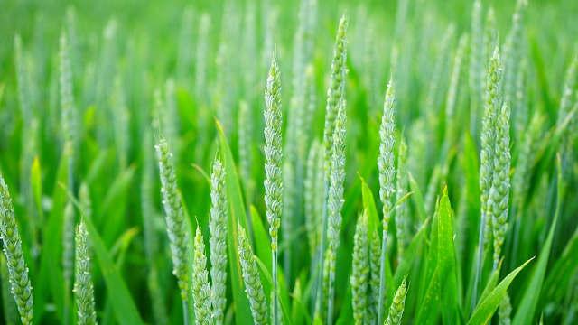 Pravilna zaštita pšenice važan korak na putu do vrhunskih prinosa
