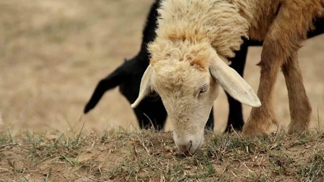 Užičkim stočarima bespovratna sredstva za kozarstvo i ovčarstvo