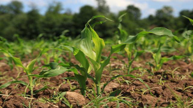 Deklarisano seme uslov je za dobar prinos kukuruza