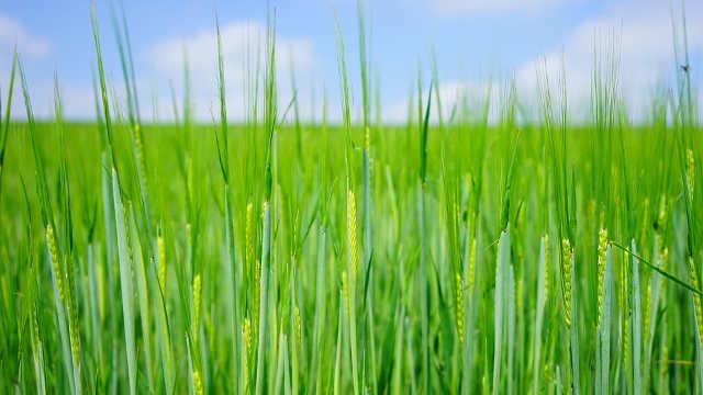 Kako da uspešno obavite zaštitu pšenice od korova, bolesti i štetočina
