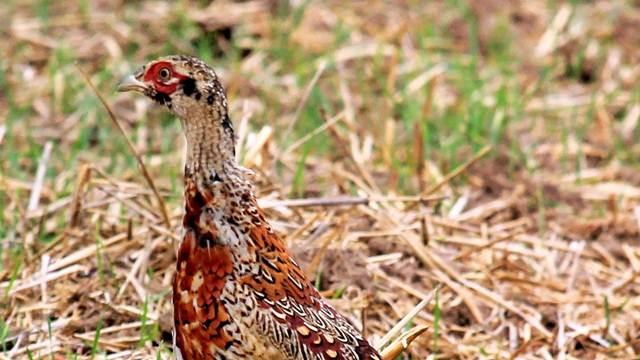 Lov na fazane u Nišu sve primamljiviji meštanima ali i strancima