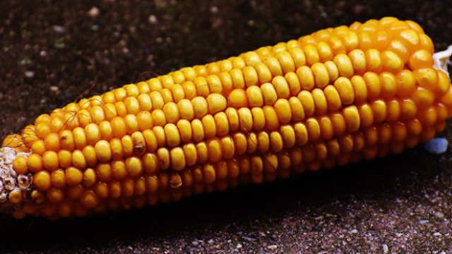 Agrimax hibridi kukuruza – AGM 5B13
