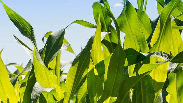 RWA hibridi kukuruza – stvoreni da budu lideri
