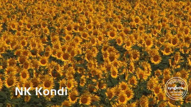 Hibrid suncokreta Kondi – jer uvek dobro rodi