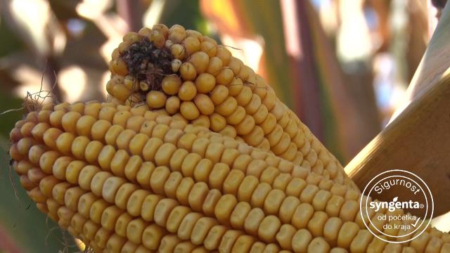 Syngenta hibridi kukuruza – jer obećavaju rekordne prinose
