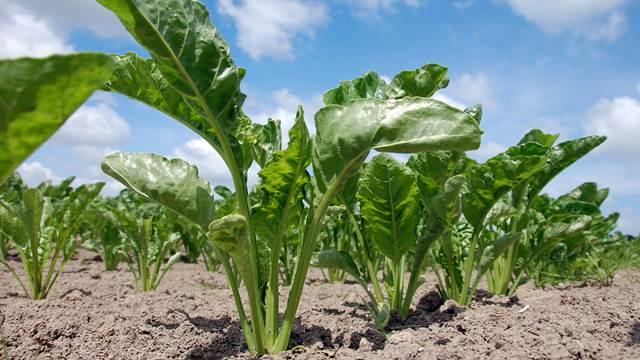 Sve o prolećnom đubrenju, predsetvenoj pripremi i setvi šećerne repe