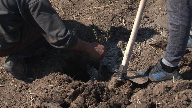 Istraživali smo: zašto bi trebalo da koristite zeolit u vašem zasadu lešnika