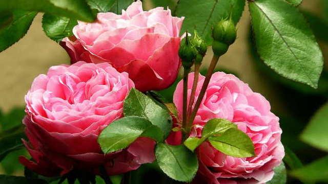 April posvetite ružama - zaštitite ih od štetočina i bolesti