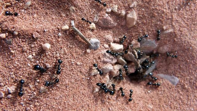 Da li ste znali da su mravi veoma korisni insekti u bašti?