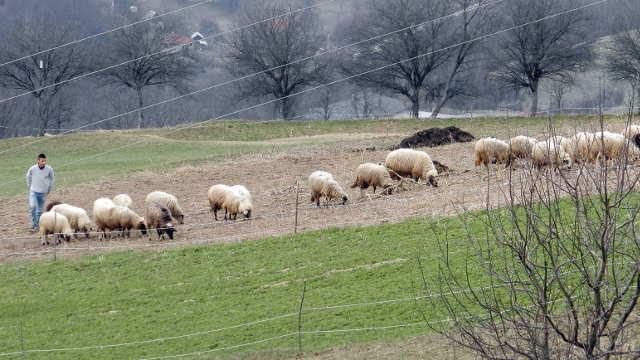 Prijepolje izdvaja 5 miliona dinara za kupovinu priplodnih jagnjadi