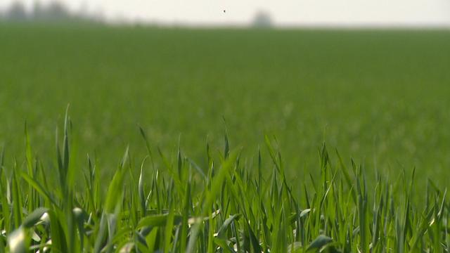 Kako da efikasno suzbijete uskolisne korove u pšenici
