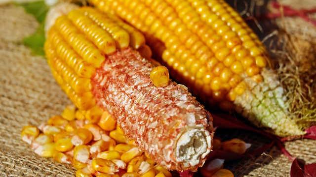 Agrimax hibridi kukuruza - Dian