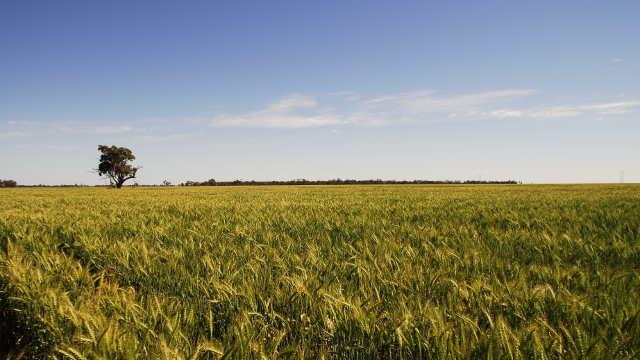 Zbog ovih preparata za zaštitu vašoj pšenici će svi zavideti
