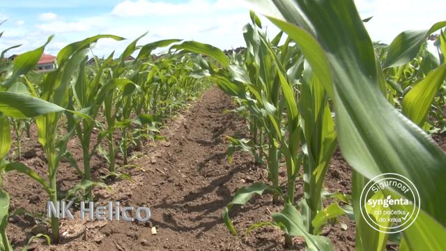Syngenta hibridi kukuruza – za zrno kakvo nema niko